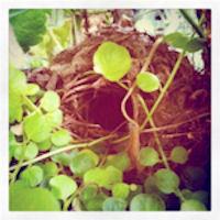 wren nest 200