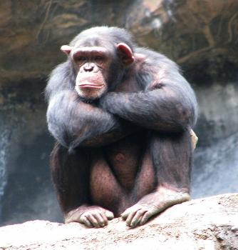 A Chimpanzee Discovers Virtual Reality