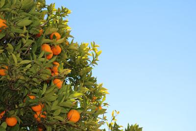 Oranges 400