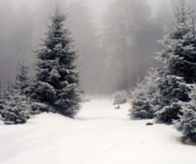 Snowy wood (250x250)