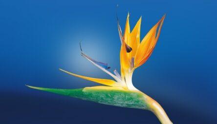 bird-of-paradise-flower-1073282_800.pg