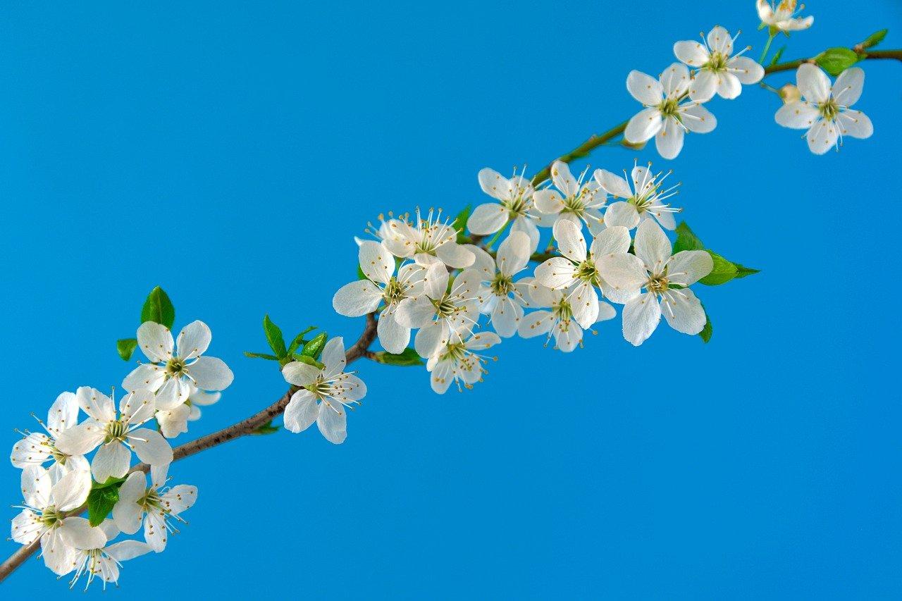 cherry-blossoms-6196363_1280