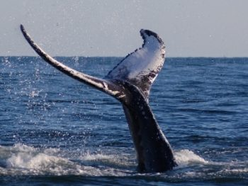 whale tail (300x225)